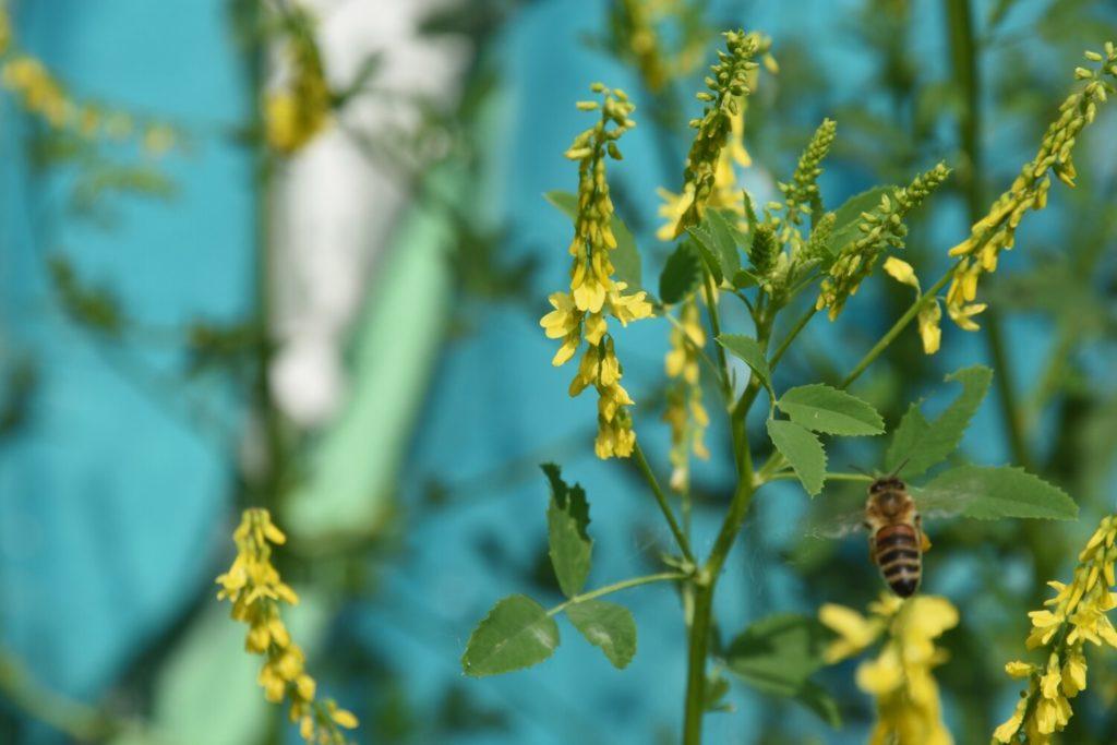 Eine Wildbiene sucht Nektar an einer gelben Blüte. Im Hintergrund ist eine Wand mit Grafitis